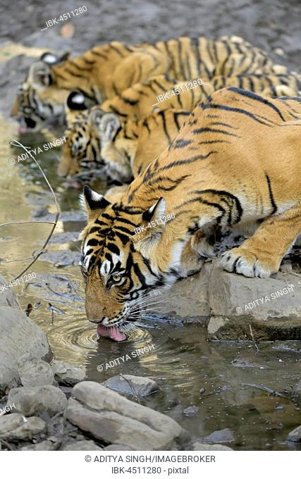 Bengal tigers (Panthera tigris tigris), tigress with her young cubs drinking water from a small pond, Ranthambhore National Park, Rajasthan, India