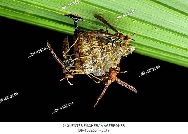 Neotropical Vespid (Polistes sp.) honeycomb nest on a leaf, Yasuni National Park, Ecuador
