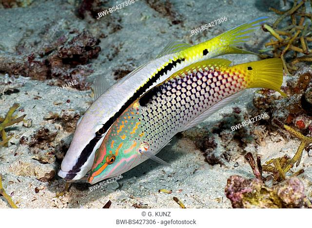 checkerboard wrasse (Halichoeres hortulanus), in the, Egypt, Red Sea, Hurghada