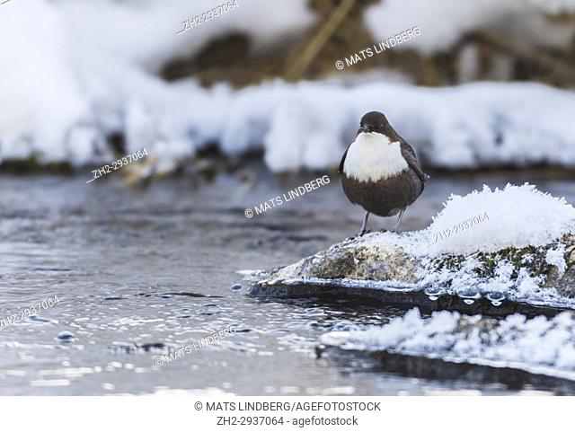 White-throated dipper, Cinclus cinclus, standing on a rock with snow and frost in a creek, Norrbotten, Sweden