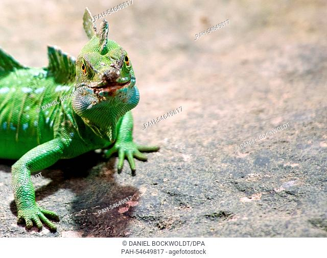 A Chinese water dragon (lat. Physignathus cocincinus) sits in its enclosure during the stocktaking at the tropical aquarium of Tierpark Hagenbeck inHamburg