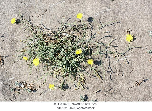 Cardavieja borde (Launaea lanifera) is a perennial herb native to southeastern Spain, northern Africa and western Asia. This photo was taken in Cabo de Gata...
