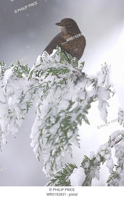 Blackbird Turdus merula female perched on snowy branch highlands, Scotland, UK