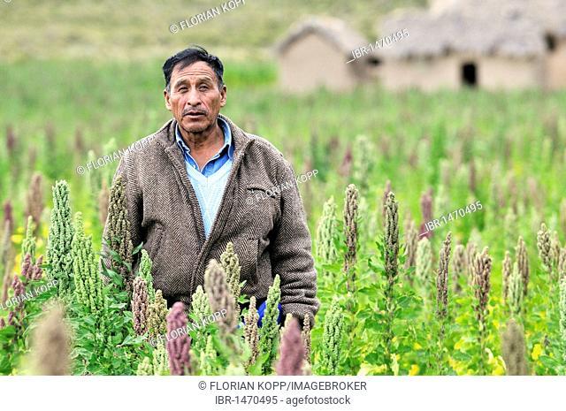 Farmer in a field, quinoa plants (Chenopodium quinoa), Altiplano Bolivian highland, Oruro Department, Bolivia, South America