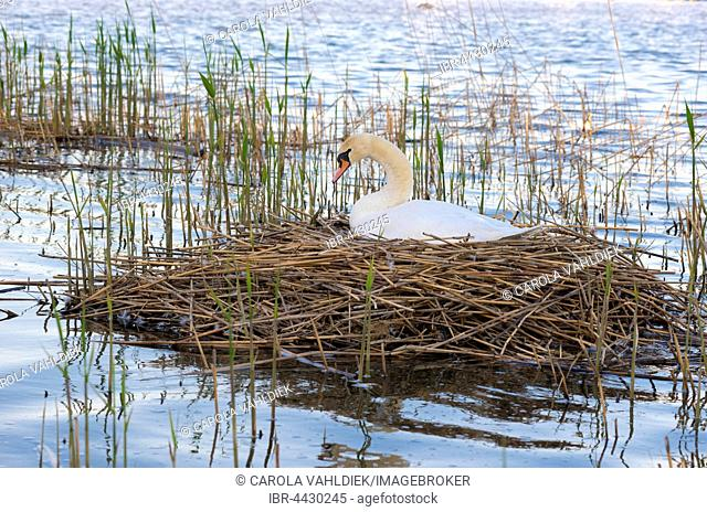 Mute swan (Cygnus olor) sitting on nest in reeds, brooding, Steinhuder Meer Nature Park, Lower Saxony, Germany