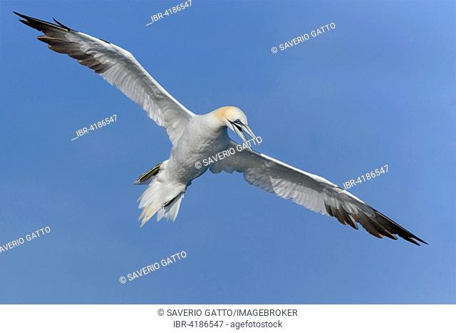 Northern Gannet (Morus bassanus), adult in flight, Tuscany, Italy