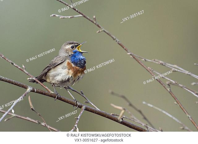 White-spotted Bluethroat ( Luscinia svecica ) singing its song, sitting in dry branches of a birch bush, wildlife, Europe