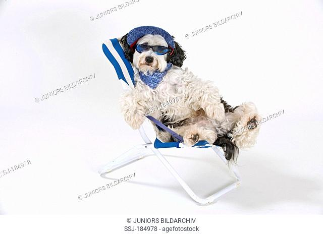 Mixed-breed dog (Tibetan Terrier x Spanish Water dog). Adult wearing a cap and sunglasses sitting in a camping chair. Studio picture against a white background
