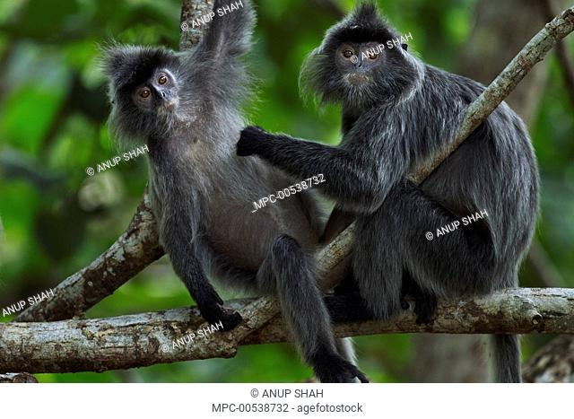 Silvered Leaf Monkey (Trachypithecus cristatus) juveniles grooming, Bako National Park, Sarawak, Borneo, Malaysia