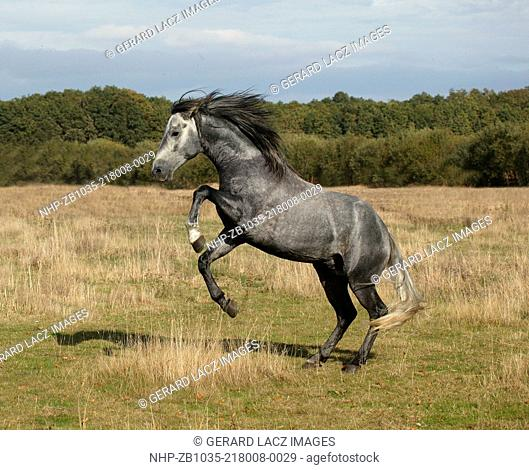 Lusitano Horse, Stallion Rearing up