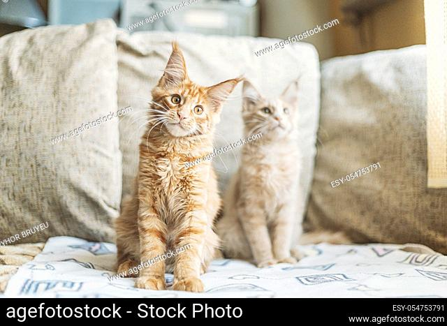 Two Funny Curious Young Red Ginger Maine Coon Kittens Cats Sitting At Home Sofa. Coon Cat, Maine Cat, Maine Shag