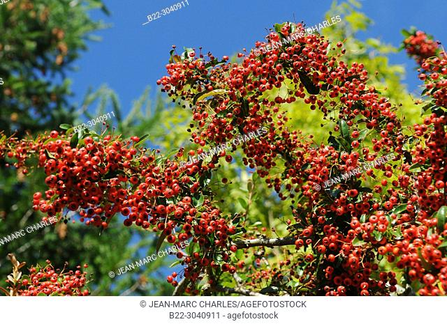 Rowan (Sorbus aucuparia), La Bessière, Campuac, North Aveyron, Midi-Pyrénées, Occitanie, France