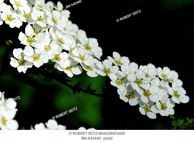 Thunberg's Meadowsweet (Spiraea thunbergii), Mindelheim, Bavaria, Germany, Europe