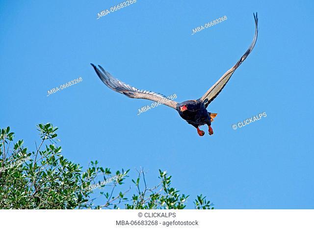 Masai Mara Park,Kenya,Africa Bateleur taken in flight