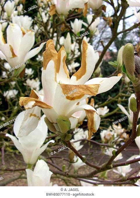 saucer magnolia (Magnolia x soulangiana, Magnolia soulangiana, Magnolia x soulangeana, Magnolia soulangeana), cultivar Lennei Alba, flower with frost damage