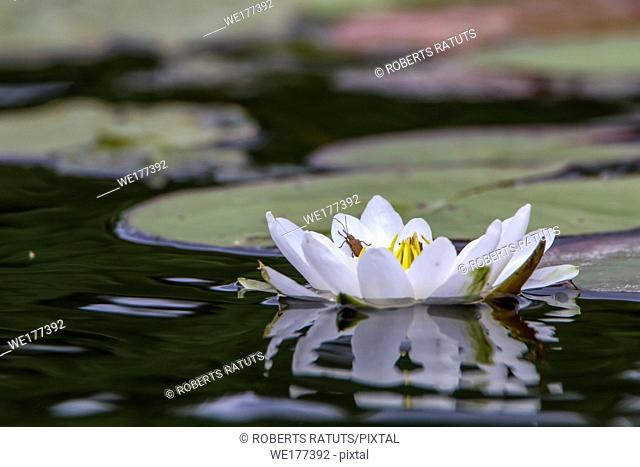 White water lilies bloom in the river, Latvia. Water lily flower with green leaves in the water. White water lily in river as background