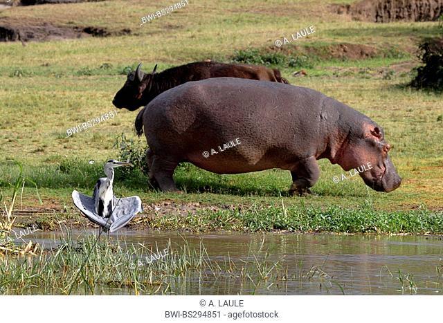 hippopotamus, hippo, Common hippopotamus (Hippopotamus amphibius), hippo, buffalo and gray heron on the bank, Uganda, Queen Elizabeth National Park