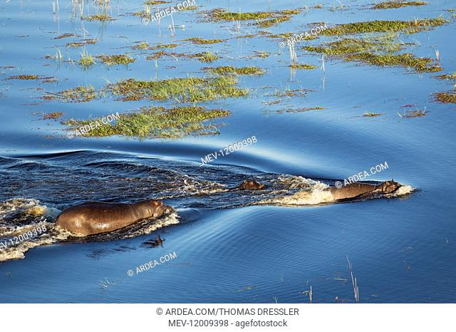 Hippopotamus - two adults with a calf in a freshwater marsh - aerial view - Okavango Delta, Moremi Game Reserve, Botswana