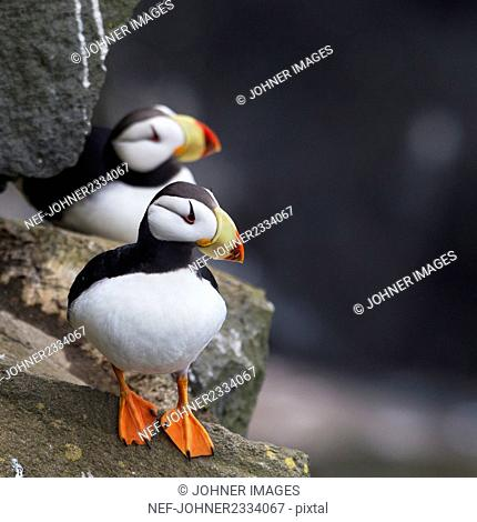 Puffins on rock