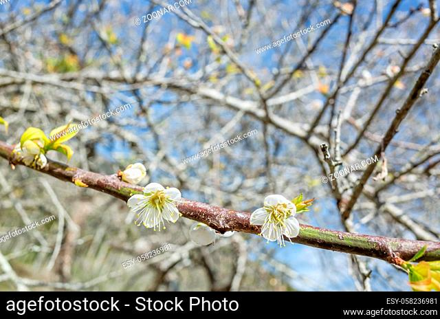 white plum blossom flowers at the garden in Nantou, Taiwan, Asia