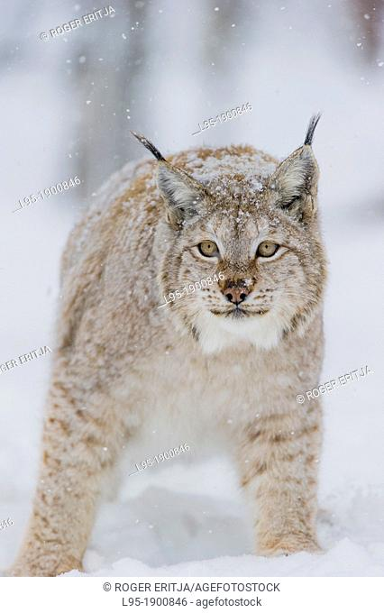 Eurasian Lynx Lynx lynx in winter fur over snow and under snowfall, controlled conditions, Norway