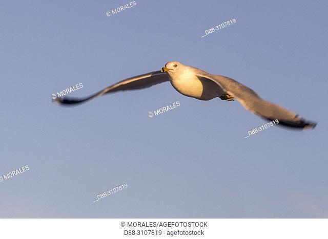 Central America, Mexico, Baja California Sur, Guerrero Negro, Ojo de Liebre Lagoon (formerly known as Scammon's Lagoon), Ring-billed gull (Larus delawarensis)