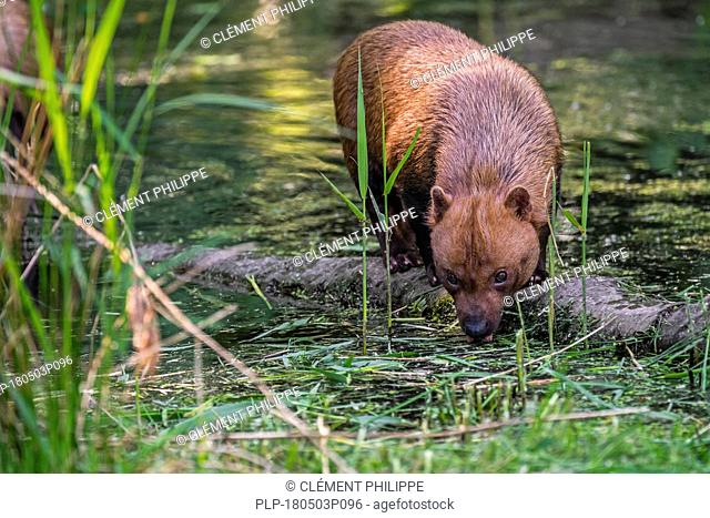 Bush dog (Speothos venaticus) canid native to Central and South America, drinking water from pond