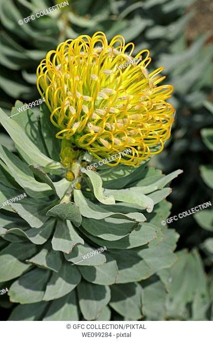 Leucospermum cordifolium Yellow Bird, Nodding pincushion, Cape Floral Kingdom, South Africa