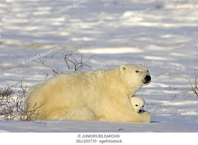 Polar Bear (Ursus maritimus, Thalarctos maritimus). Cub lying sfe and warm in its mothers front legs. Wapusk National Park, Canada