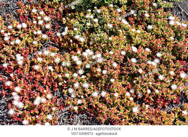 Ice plant (Mesembryanthemum crystallinum) is a creeping succulent plant native to Africa and southern Europe. This photo was taken in Lanzarote Island