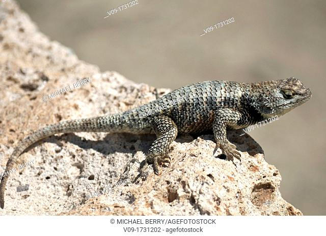 Spiny lizard, Great Basin, California, USA
