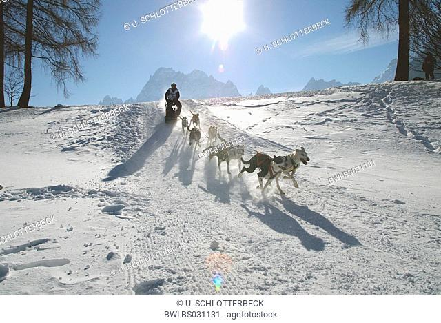 Alaskan Husky (Canis lupus f. familiaris), team in back light at the Alpentrail 2005, Italy, South Tyrol, Monsanto, Sesto