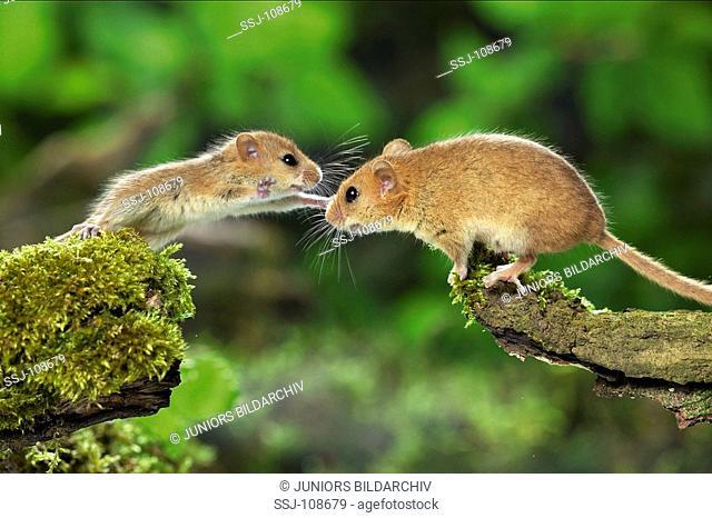 common dormouse , hazel mouse / Muscaridinus avellanarius