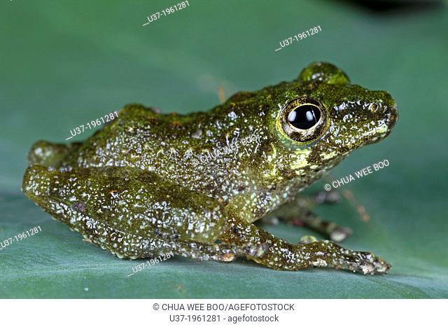 Frog. Image taken at Kampung Skudup, Sarawak, Malaysia