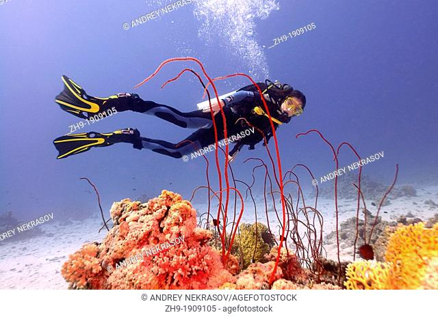 Diver at coral reef, Red sea, Egypt, Africa