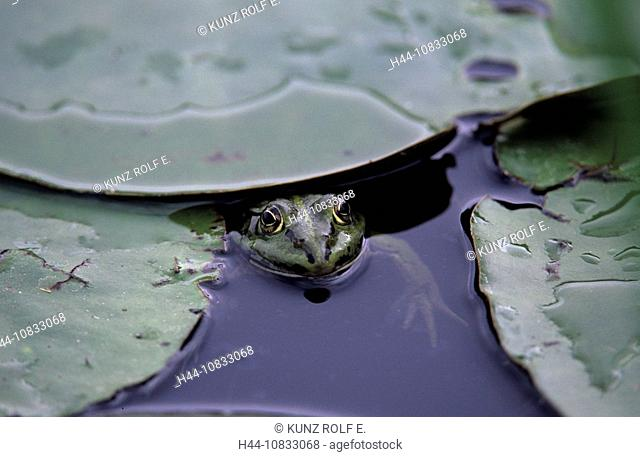 Edible Frog, Rana esculenta, Amphibians, Pond, Water lily leaves, Frogs, Switzerland, Europe, Biotope, Nature