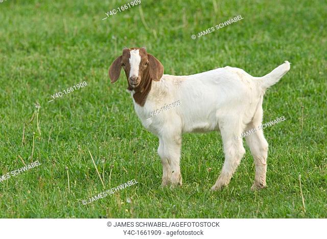 Young goat standing in field