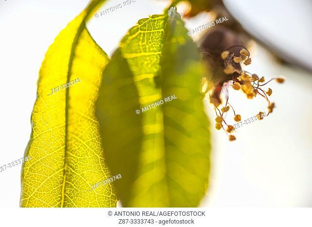 Close-up of pear tree flowers and leaves (Pyrus sp.). Almansa. Albacete province, Castile-La Mancha, Spain