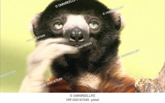Close up of face of Sifaka Lemur