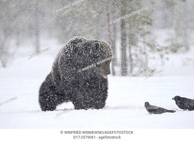 European brown bear (Ursus arctos) in a heavy snowstorm on a bog covered with snow. Finland