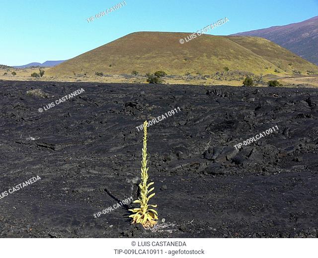 Silversword, lava field Mauna Kea Volcano, USA, Hawaii