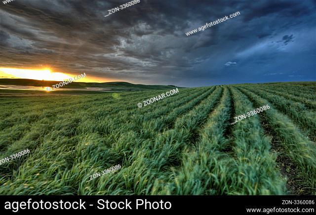 sunset nad durum wheat crop storm clouds