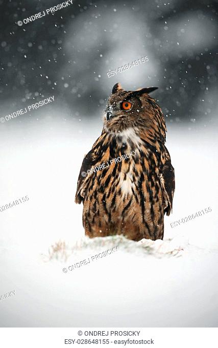 Big Eurasian Eagle Owl during winter with snow
