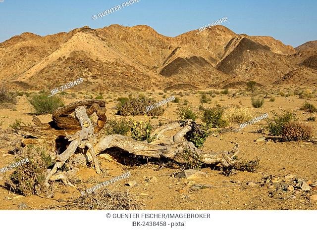 Dead Shepherds tree (Boscia) is located in the mountainous, desert-like landscape of the Richtersveld National Park, Northern Cape, South Africa, Africa