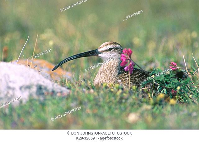 Whimbrel (Numenius phaeopus) on nest brooding eggs. Churchill. Manitoba. Canada