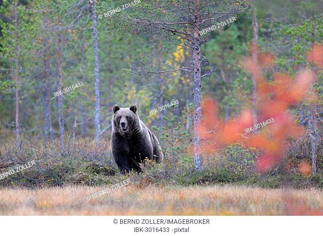 Brown Bear (Ursus arctos) in the autumnally coloured taiga or boreal forest, border area to Russia, Kuhmo, Karelia, Finland