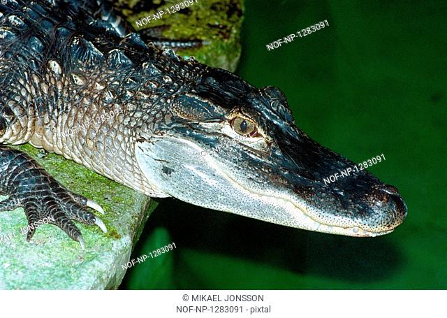 Head of a crocodile in an aquarium
