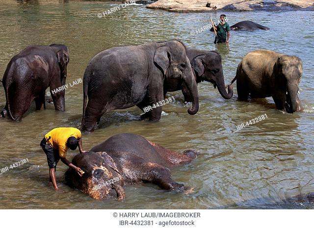 Mahouts clean Asian elephants (Elephas maximus), Maha Oya River, Pinnawala Elephant Orphanage, Central Province, Sri Lanka