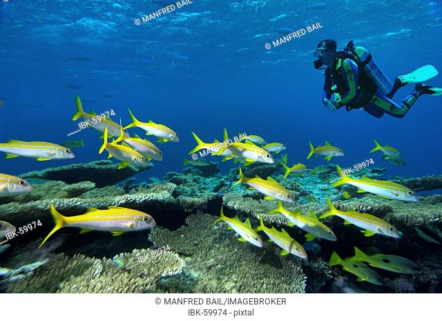Middle East Red Sea Yellowfin goatfish Mulloidichthys vanicolensis COMPOSING> diver
