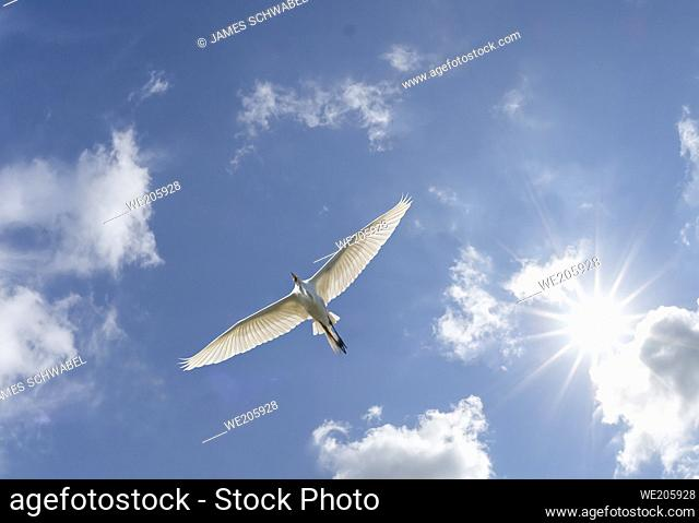 Single white bird soaring in blue sky with white clouds and sunburst in sky above the bird